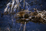 Muskrats are closely related to beavers, but a few inches smaller. Muskrats have little hairs that...