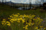 A blooming flowering bush is part of the re-growth of the Hayman burn area around and above...