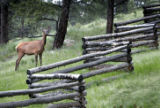 A cow elk grazes on a bumper crop of native grass along a fence line off of CR 56 in Evergreen...