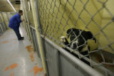 A stray pit bull awaits his demise of either being given a home outside of Denver County or being...