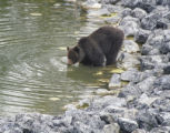 RMO106 - The grizzly bear that killed athlete Isabelle Dube takes a drink from a pond at the...