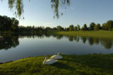 Swans rest by a pond next to the 17th green Tuesday evening, June 14, 2005,  at Cherry Hills...
