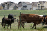 Cows once on the outskirts of town are now sandwiched between the town and new development in...