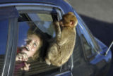 (NYT36) GIBRALTAR -- June 27, 2005 -- GIBRALTAR-MONKEYS-2 -- One of the more than 200 Barbary apes...