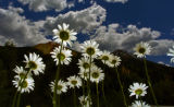 this is for page 22 A field of daises grows along highway 550 north of Silverton Colorado last...