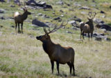 A group of three bull elk graze in the high alpine tundra environment near the Forest Canyon...