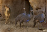 (Denver, Colo., July 9,  2004)    Animals at the Denver Zoo's Predator Ridge.   A dikdik--a tiny...