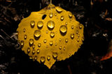 An aspen leaf lays on the ground covered with rain drops Tuesday morning September 27, 2005, at...