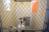 A Labrador mix stands in his shelter at the Denver Dumb Friends League on Thursday September...