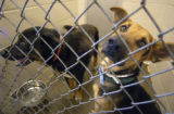 Two German Shepherd mixes in their shelter at the Denver Dumb Friends League  on Thursday...
