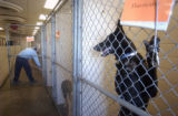 Linda Hawkins (cq) , a kennel technician at the Denver Dumb Friends League, cleans a shelter on...