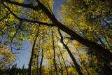 Aspens begin their annual display of color in the Pike NationaL Forest along the Hoosier  creek...