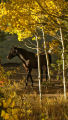 A horse stands in its pasture with turned aspen trees south of Nederland Tuesday afternoon...