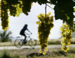Bicyclists ride by some Chardonelle grapes at Carlson Vineyards in Palisade, Colorado during a...