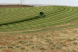 On Sept 30, 2005, in Iliff, a field of hay is being harvested by wind rower.  Irrigation makes the...