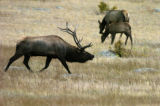 The Elk Rut is under way in the Rocky Mountain National Park. Each autumn this happens during the...