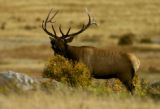 A Bull Elk bugles to attract females and to intimidate other males in Moraine Park Thursday...