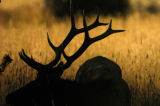 A Bull Elk rests in the tall grass in Moraine Park early Wednesday morning September 22, 2005 in...