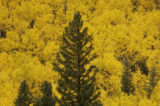 A few evergreens stand against a backdrop of golden aspen trees near Empire Wednesday September...