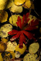 An asortment of leaves lie in the water at Maroon Lake September 26, 2005. The Maroon Bells in...