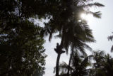 (1/18/05, Kaalapet, India)   Pasupathy quickly climbed up a coconut tree to collect some green...