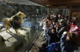 "(DENVER, Colo., January 17, 2005)"" Krueger"", a lion at Predator Ridge in the Denver Zoo,..."