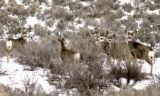 Hamilton, Colo.-February 14,2005- A group of mule deer just west of Hamilton, Colorado in the Axil...