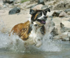 Denver, CO Au9. 8 2005 Nikoma, an 8-year-old St. Bernard, stays cool by chasing a ball in the...