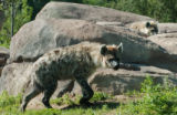 (DENVER, Colo., July 22, 2004)  Two of three new spotted hyenas (Crocuta crocuta) walks through...