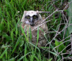 LAFAYETTE,   Co.     A baby owl that has fallen from a tree in Shirley and Carl Thompson's garden...
