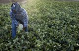 Mameda Farms (CQ) employee Flavio Chegue (CQ) picks cantaloupes Friday September 2, 2005 in Rocky...