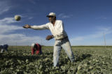 Mameda Farms (CQ) employee Lazaro Quinones (CQ/tilde over first n) picks cantaloupes Friday...