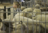 Megan Cothren, 5, of Gill, Colo., waits for her turn to show her Corriedale Wool Ewe named...