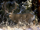 (DENVER, CO. NOVEMBER 21, 2004) A buck mule deer looks up through the frosted landscape while...