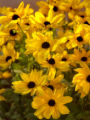 Lafayette, Colorado.  August 4,  2004.  Black-eyed susans in Shirley and Carl Thompson's garden in...