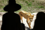 (DENVER, Colo., June 22, 2004)A female lion saunters to an observation window where visitors to...