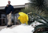 (DENVER, Colo., March 14, 2005) A daffodil emerges from the snow outside of the Denver Botanic...