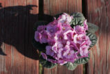 (3/2/05, Denver, CO)  African Violets  (PHOTO BY JUDY WALGREN, ROCKY MOUNTAIN NEWS)