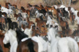 Cattle and bucking horses which will be featured in this year's National Western Stock Show rodeo...