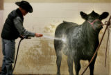 Jay McCabe, 24, left, from Cascade, Iowa, washes one of his Gelbvieh Sale heifer named Camille as...