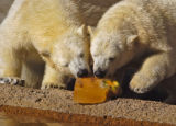 One year old polar bears Koda and Nuka eat a specially made cake for them Wednesday morning...