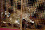 COBOU101.jpg A 10-month-old mountain lion sits in a Division of Wildlife trap early Wednesday,...