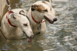 "Racing greyhounds ""LL Let it Flo"", left, and ""LR's Serena"", right, cool off in..."