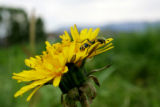 The dandelion (Tanacetum parthenium) is not only edible in salads, but is also a diruetic and is...