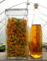 Calendula blossoms, soaked several weeks in organic olive oil are then pressed into the final...