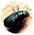 (NYT14) NEW YORK -- July 12, 2004 -- SCI-BARK-BEETLE -- A mountain pine bark beetle is pictured in...