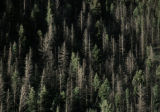 Dead trees infested with beetles outnumber healthy ones along the I-70 corridor near Georgetown. ...