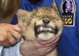 Asali, a baby lion cub at the Denver Zoo, gets a vaccination and ID chip on Wednesday February 1,...