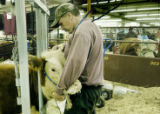 Denver, CO Jan. 18, 2006 Scott Bang of Fremont, Nebraska grooms a Miniature Hereford in the Hall...