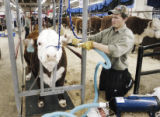 Denver, CO Jan. 18, 2006 Danny Jackson, 15, of Lakewood, blow drys, Riata, a Miniature Hereford in...